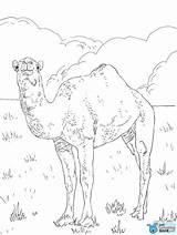 Kamel Coloring Camel Ausmalbild Dromedar Ausmalbilder Dromedario Colorear Dromedary Colorir Arabian Colorare Printable Arabisches Paginas Gratis Animales Disegno Camels Ausmalen sketch template