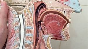 Anatomy of the Oral Cavity - YouTube