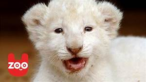 Six Baby White Lions Born in Germany - YouTube