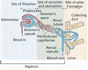 Excretory System  U2039 Opencurriculum