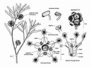 Myrtaceae Illustrations