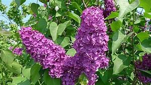 Wann Blüht Flieder : flieder richtig pflanzen schneiden und vermehren ~ Lizthompson.info Haus und Dekorationen
