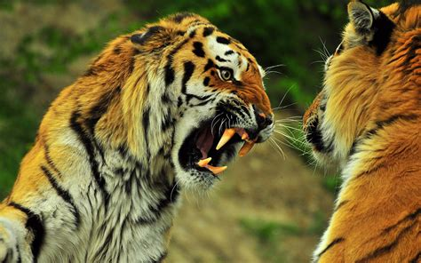 Siberian Tiger Hd Wallpapers  Download Tiger Wallpapers