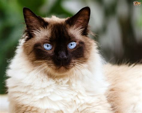 blue eyed cats beautiful blue eyed cats pets4homes