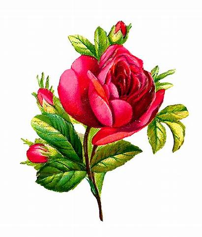 Rose Flower Digital Clip Botanical Artwork Roses