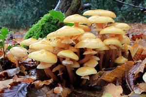 File Armillaria Mellea  Honey Fungus  Uk 2 Jpg