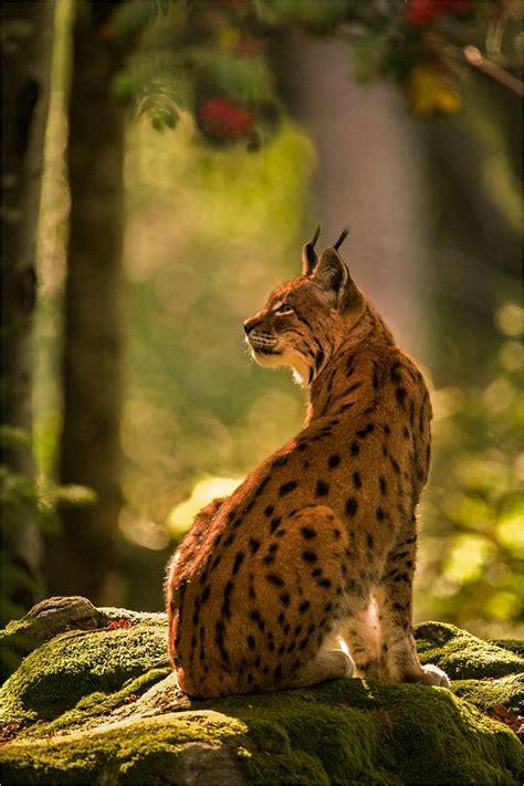 The 25+ Best Lynx Ideas On Pinterest  Eurasian Lynx