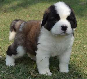St.Bernard Puppies for Sale(Prashant 1)(9503) | Dogs for ...