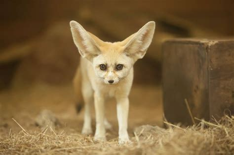 pet fennec fox 7 unusual pets to have at home