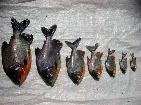 Benih Ikan Bawal Blitar fakta menarik mengenari ikan bawal yang belum kita ketahui