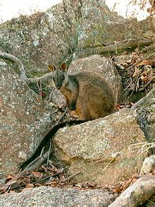 Brush Tailed Rock Wallaby Simple English Wikipedia The