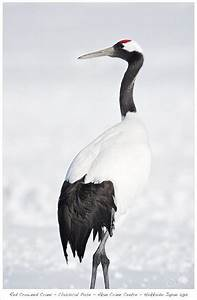 9 best Cranes images on Pinterest   Japanese crane, Tattoo ...