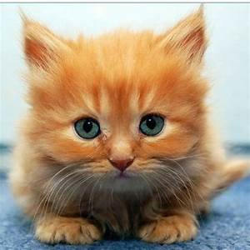 Fluffy orange kitten.... Nawwww! | The Furry Ones ...