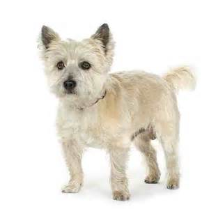 small breed cairn terrier breeds picture