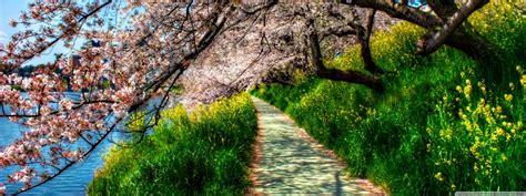 cherry blossom tunnel ultra hd desktop background