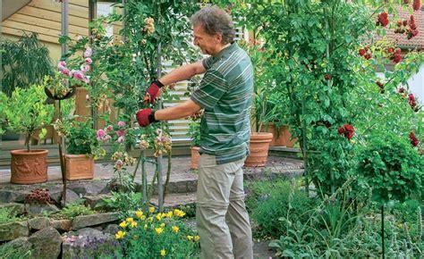 kletterrosen schneiden rosenbogen sommerschnitt f 252 r kletterrosen pflanzen in haus und garten kletterrosen kletterrose