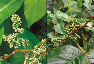 Poison Ivy Flowers and Berries | The Poison Ivy, Poison ...