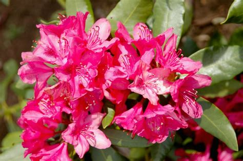 Rododendrs - Fitoterapija.lv