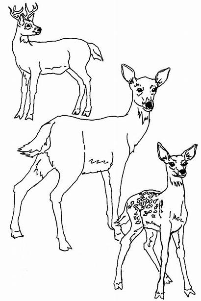 Deer Coloring Pages Animal Animals Sheets