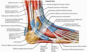 Foot Muscles And Tendons Diagram