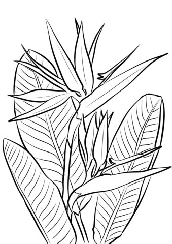 Click to see printable version of Bird of Paradise Plant Coloring page | Arte vegetal, Dibujos