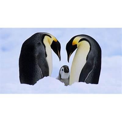 Emperor PenguinAnimal Wildlife