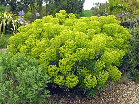 euphorbia perennial euphorbia characias subsp wulfenii agm 2l spurge perennial