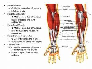 PPT - HUMEROULNAR/ELBOW JOINT & HAND PowerPoint ...