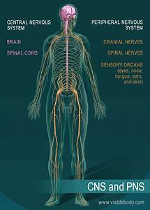 Diagram Of Nerve System