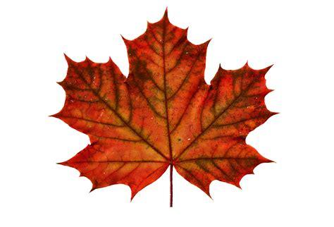 maple tree leaf tree leaves and glacier vanessa velasquez s blog