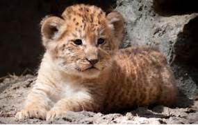 Caters News Agency The liger cubs have their own distinct      White Liger Cubs