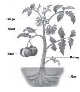 penjelasan organ tumbuhan beserta fungsi strukturnya