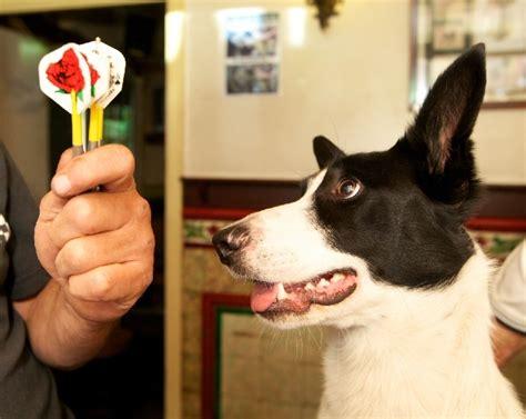 Dart Playing Dog