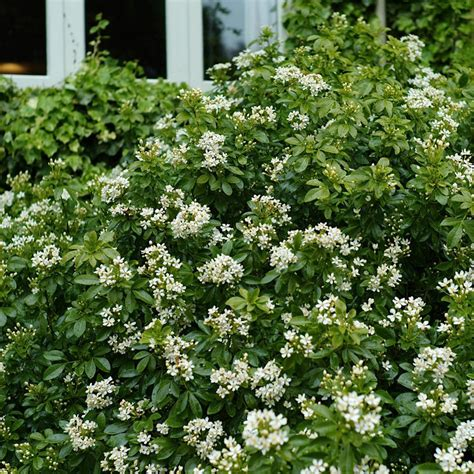 Large Flowering Shrubs  Flowers Ideas For Review