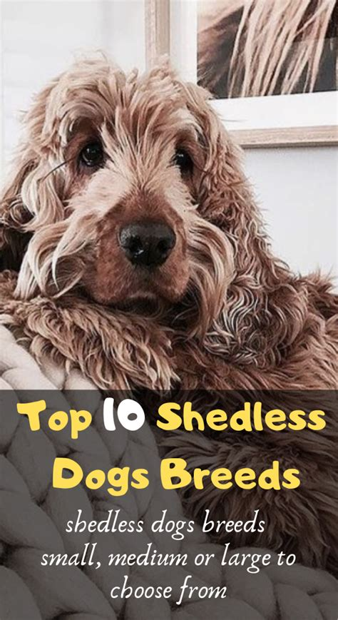 top  dog breeds  dont shed shedless dogs breeds