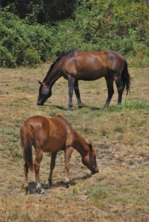 animals eating habits horses science grass herbivorous