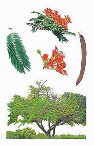 Flame of the forest, gul mohur (Delonix regia ...