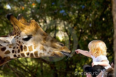 child feeding  giraffe stock photography image