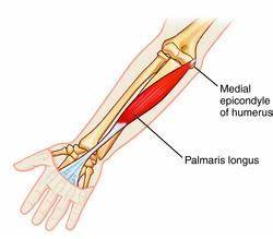 Palmaris Longus – it can still have a purpose. | In Touch ...