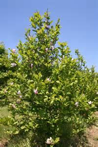 Jane Magnolia Tree