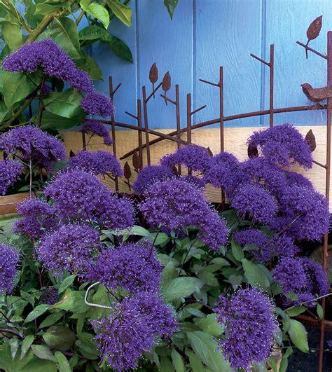 what plants are annuals trachelium caeruleum hamer pandora buy online at annie s annuals