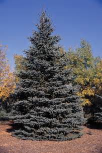 blue spruce wikipedia
