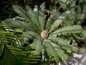 La Palma Jardin : file palma de la virgen dioon edule jard n bot nico m nich alemania 2012 04 21 dd 01 jpg ~ Markanthonyermac.com Haus und Dekorationen
