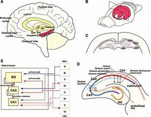 Hippocampal Anatomy And Circuitry   A  Principal Anatomy