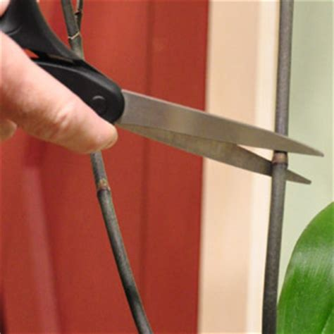 how to cut back an orchid after blooming how to care for phalaenopsis orchids after they bloom p allen smith