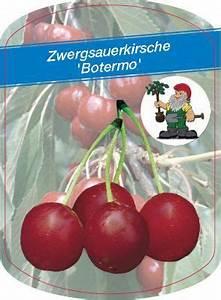 Kirschbaum Kaufen 3m : zwergsauerkirsche botermo von gartenxxl auf kaufen ~ Buech-reservation.com Haus und Dekorationen