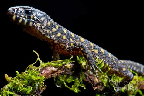 pictures of yellow spotted lizards shemales