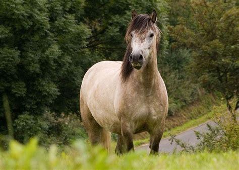 pferdezucht deutsche ponyzucht ponyrassen highland pony