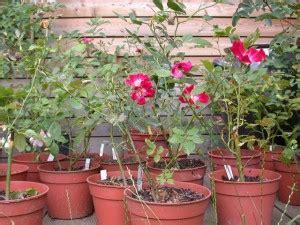 comment planter un rosier dans un pot comment planter les rosiers dans un jardin