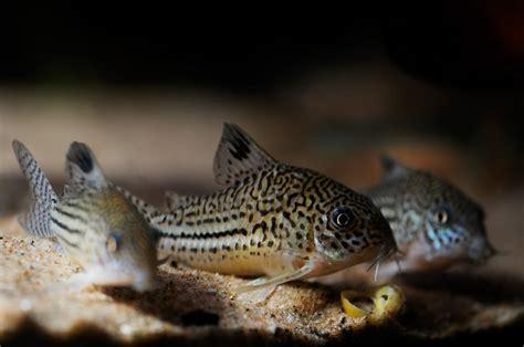 aquarium ab wann fische einsetzen welse geh 246 ren einfach in ein gesellschaftsbecken